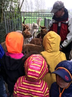 Oh wie süß! Zu Besuch bei den Alpakas im Sauerland